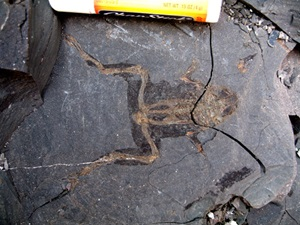 This 22-million-year-old frog fossil was collected by Bonnie Jacobs' expedition from Mush Valley in 2010.