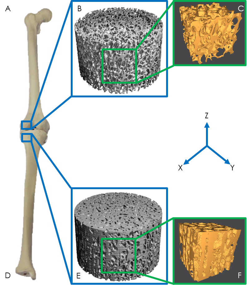An interdisciplinary team of researchers that compared CT scans of bones of living mammals with fossil bones of dinosaurs found that the trabecular bone structure of hadrosaurs and several other dinosaurs is uniquely capable of supporting large weights and different than that of mammals and birds. Figure 1 illustrates cross sections of trabecular bone in mammals (B) and dinosaurs (E).
